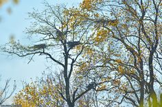 Heron nests in trees on an island in Dredge Harbor.