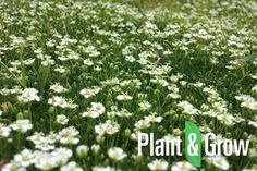 Sagina subulata online bestellen: http://www.plantengrow.nl/bodembedekkers/sagina-subulata-priemvetmuur-43.htm (Plant & Grow) - Priemvetmuur