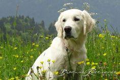 Logan « English Cream Golden Retriever Breeder