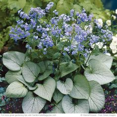 Shining in shade   6 easy-care plants Brighten Plant a shade-loving perennial that looks good with other spring and summer blooms! Many brunneras (Brunnera macrophylla) have silver foliage, but 'Looking Glass' has exceptionally silver leaves. It starts out the season with green veins, like you see here. But as its flowers finish and the temperatures rise, the leaves turn solid silver.