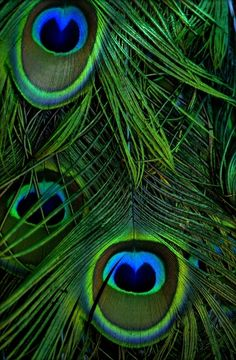 Peacock feathers My Bohemian Aesthetic Peacock Colors, Peacock Art, Peacock Feathers, Green Colors, Green Peacock, Peacock Eggs, Peacock Images, Peacock Painting, Peacock Pictures