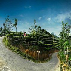 Lokasi: Kebun Teh Nglinggo, Samigaluh, Kulon Progo, Yogyakarta. . #brothersjournal