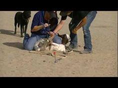 Goat Tying 101 - YouTube