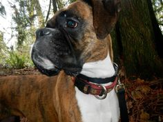 Hoosier is a pretty 3 year old brindle girl being fostered in Seattle WA. Find out more on our website - www.nwboxerrescue.org or our Facebook page - www.facebook.com/Northwestboxerrescue