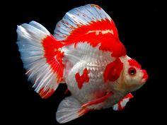 20cm metallic red white ryukin