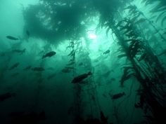 fish, kelp forest, and sea image Dark Green Aesthetic, Water Aesthetic, Kelp Forest, Slytherin Aesthetic, All Nature, Greek Gods, Underwater Photography, Ocean Life, Deep Sea
