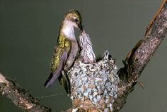 Ruby-throated Hummingbird nests are made out of lichens and spider webs and are about the size of a tennis ball. (Hummingbird Slideshow)