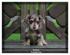 mini dapple dachshund