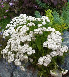 """Achillea millefolium 'Sonoma Coast' """"White Yarrow"""" It grows to tall and wide and it blooms with creamy white umbels of flowers early summer through fall. Very easy to grow & even deer resistant, yet very popular with all sorts of beneficial insects. Purple Flowering Plants, White Plants, California Native Plants, California Garden, Achillea Millefolium, Deer Resistant Plants, Hardy Perennials, Drought Tolerant Plants, White Gardens"""