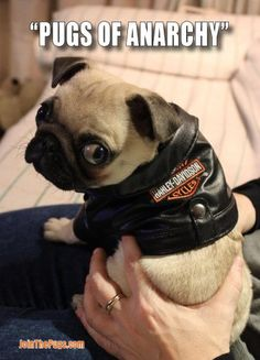 Pugs of Anarchy - Dexter