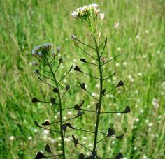 Shepherds Purse (Ladys Purse) Capsella bursa-pastoris (L.) Medic