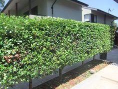 lilly pilly hedge Backyard Plants, Backyard Ideas, Garden Ideas, Bamboo Screening, Garden Hedges, Privacy Plants, Side Garden, Outdoor Landscaping, Deck Design