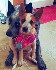 These two are an awesome example of how different the red and blue heeler are in coloration. They're beautiful!