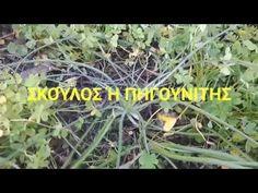Σκούλος ή Πηγουνίτης ...ΑΓΡΙΑ ΧΟΡΤΑ ΚΡΗΤΗΣ.. - YouTube Herbs, Youtube, Plants, Herb, Planters, Plant, Spice, Planting