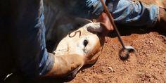 Choques, socos e pauladas em animais nas fazendas da Friboi param a internet com flagra assustador