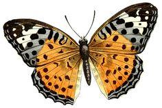 antique butterfly clip art
