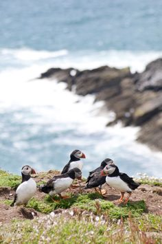 I really want to see these cuties in person - Puffins, Skomer Island, Pembrokeshire, Wales