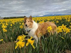Scotch Collie, Livestock, Corgi, Animals, Animales, Animaux, Corgis, Animal, Animais