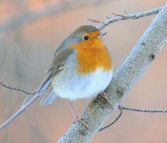 4. Rouge-gorge familier - espèce observée dans 72% des jardins de la province de Liège Cute Birds, Pretty Birds, Beautiful Birds, Bird Of Paradise Yoga, Pet Bird Cage, Robin Bird, Curious Creatures, Bird Silhouette, Bird Drawings