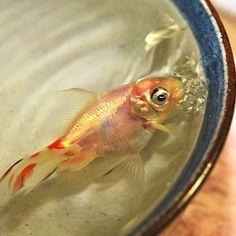 Fish In A Dish: Cute Or Cruel?  http://www.finestfishtanks.com/fish-in-a-dish-cute-or-cruel/  #fish #fishtanks #bowl #fishbowl #news #goldfish #viral #cruel #cute #animalabuse