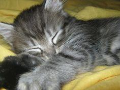 Lazy Cat sleeping Tags: #lazy #cats #animals #funny #cute