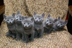 Russian Blue Babies