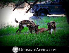 African Safari , Wild Dogs making a kill @ Chitabe. #africa #safari #african safari #africansafari #Chitabe #Ultimateafrica #animal #animals #Botswana #okavango #okavango delta #okavangodelta #holiday #vacation #luxurysafari #luxury safari #dog #canine #dogs #kill #wilddog #africandog #nature #impala #water #reflection #landrover #wilddogs #africanfastfood