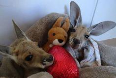 Маленькие кенгурята остаются умирать в сумке погибшей матери, пока не приходит он… • НОВОСТИ В ФОТОГРАФИЯХ