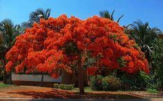Flamboyant vermelho - Brasil    Resultados da pesquisa de http://4.bp.blogspot.com/__FERZl_bX_w/TPq1Gwyb18I/AAAAAAAAAAw/-EMV_kudToQ/s1600/O-FLAMBOYANT-E-O-NOSSO-AMOR.jpg no Google