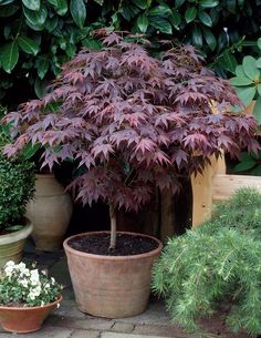 Acer palmatum 'Bloodgood'. Prefers part shade. Stunning in May/ June when new leaves are unfurled!