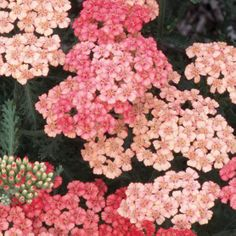 Achillea millefolium 'Apricot Delight' (yarrow) - loves the sun.  'Apricot Delight' has deep reddish apricot blooms that then mature to a pale salmon, and they harmonize well with other colors. 'Apricot Delight' has a long blooming season (from early to late summer, with deadheading). This cultivar is smaller than most yarrows, and the blooms make nice cut flowers