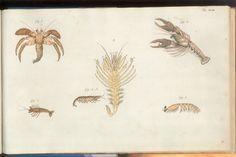 Herbst Crabs & Lobsters Plate XLIII