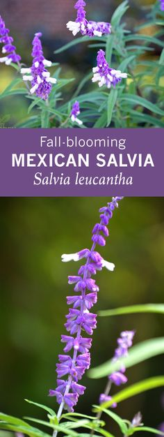 Mexican salvia's fuzzy purple/white flowers bloom in fall. It's drought tolerant & deer resistant! The flowers attract bees, hummingbirds, and butterflies.  Salvia leucantha via @gardenexperimnt