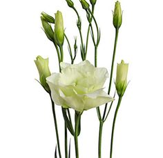 Lisianthus Green is going to be grown for the wedding  bouquets!!  I am also going to get some cream and/or white.