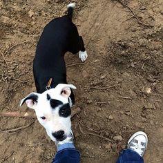 "#LOSTdogs 8-22-15 #Rumney #NH #PitBull mix Black/White ""Diesel"" #Boxer mix ""Honey"" Meghan Elizabeth US LOST DOG REGISTRY https://www.facebook.com/permalink.php?story_fbid=1471217203182299&id=1449677648669588"