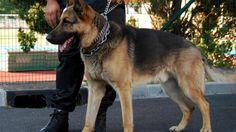 Un vigile avec un chien de garde berger allemand.