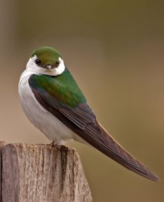 Beautiful green and violet swallow. Elegant little bird. (Christine Haines)