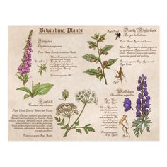 Some poisonous plants used in witchcraft. Foxglove, Poison Hemlock, Deadly Nightshade and Wolfsbane. Science Illustration, Plant Illustration, Botanical Illustration, Medical Illustration, Magic Herbs, Plant Magic, Poison Garden, Poisonous Plants, Medicinal Plants