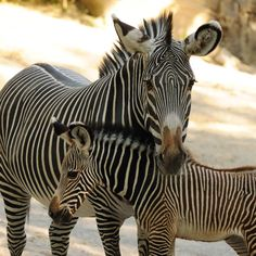 """On Wednesday, May 23, 2912, the Cincinnati Zoo's female Grevy's Zebra """"Lainey Lyn"""" gave birth to a healthy 103 pound baby girl. This is the second Grevy's zebra birth in the past three years for the Cincinnati Zoo's breeding pair, mother """"Lainey Lyn"""" and father """"Shewa."""""""