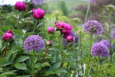Alliums blooming with peonies - what could be more perfect!