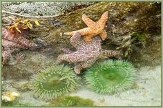 In addition to little critters like crabs and sculpins scurring about, the tidal pools at Brady's beach photos pevious) are a colourful underwater garden for anemones and starfish. Tide Pools, Little Critter, Beach Walk, Spaces