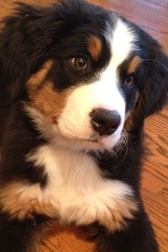 These dogs have the most beautiful faces! Cute Puppies, Cute Dogs, Dogs And Puppies, Doggies, Burmese Mountain Dogs, Swiss Mountain Dogs, Cute Baby Animals, Animals And Pets, Schnauzer