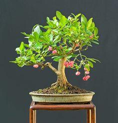 Flowering Bonsai | Flowering Bonsai | Bonsai Tree | Pinterest