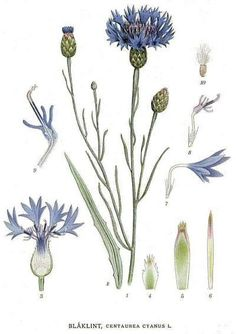 Cornflower (Centaurea cyanus, Asteraceae) 'Bilder ur Nordens Flora by C. Vintage Botanical Prints, Botanical Drawings, Vintage Art, Plant Illustration, Botanical Illustration, Botanical Flowers, Botanical Art, Illustration Botanique Vintage, Impressions Botaniques