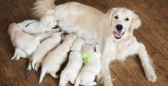 Pregnant Dog Care: How to Prepare for Newborn Puppies Best Puppies, Cute Puppies, Dogs And Puppies, Golden Retriever, Retriever Puppy, Rottweiler, Puppy Feeding Schedule, Dog Birth, Pets