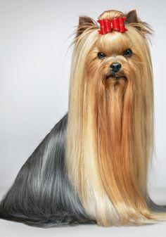 Yorkshire Terrier via stylist.co.uk
