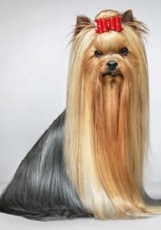 Yorkshire Terrier via stylist.co.uk
