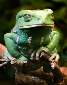 Waxy Monkey Frog......spends most of its life in trees.