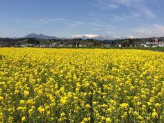 平沢の菜の花絨毯