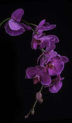 Purple Orchid Blossoms The post Purple Orchid Blossoms appeared first on Ruby Sanders. Black Flowers, Butterfly Flowers, All Flowers, Exotic Flowers, Tropical Flowers, Pretty Flowers, Flower Art, Purple Orchids, Orchid Plants